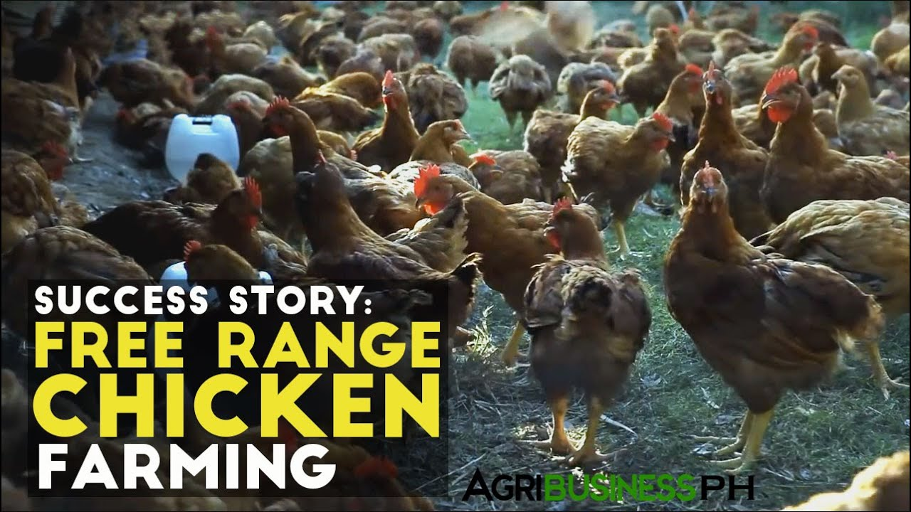 Free range chicken farming success story pamora free range chicken agribusiness philippines