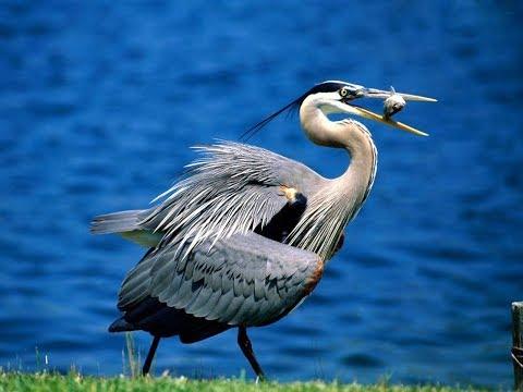 Great Blue Heron - Great Blue Heron call - Great Blue Heron Hunting