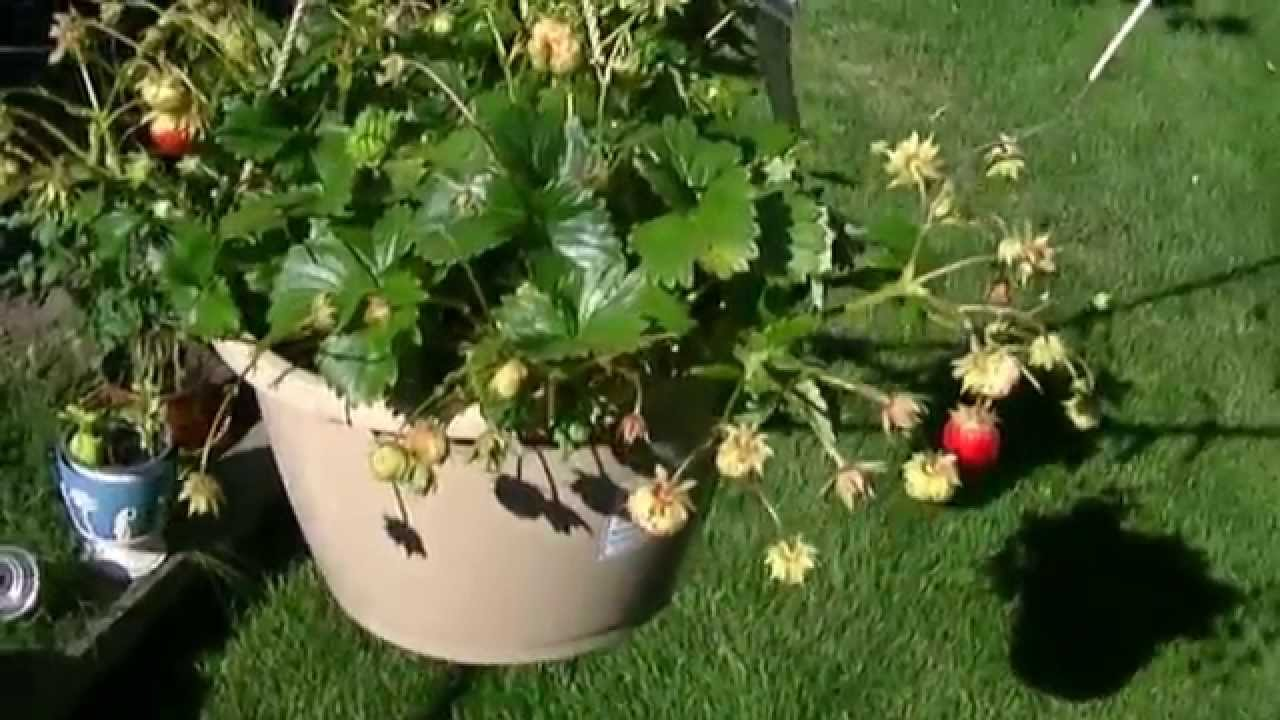 Someone Please Help With My Fragaria Hybrid Strawberry Plants In Hanging Pots