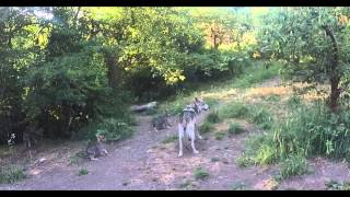 Mexican wolf dad at Wolf Haven shows pups how to howl