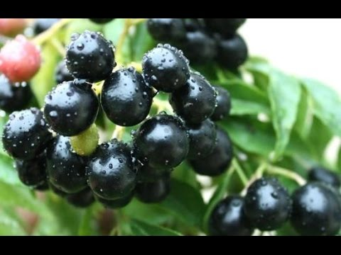 Syzygium cumini Indian blackberry jambolan - YouTube