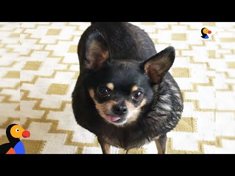 Overweight Chihuahua Finds The Perfect Mom To Help Her Get Healthy | The Dodo