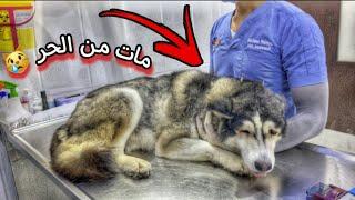 انقاذ كلب هاسكي صاحبه رماه عند العياده بعز الظهر 😱🔥