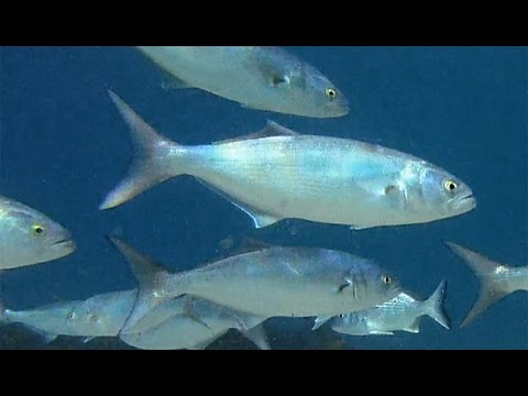 Tailor Or Bluefish (Pomatomus Saltatrix)