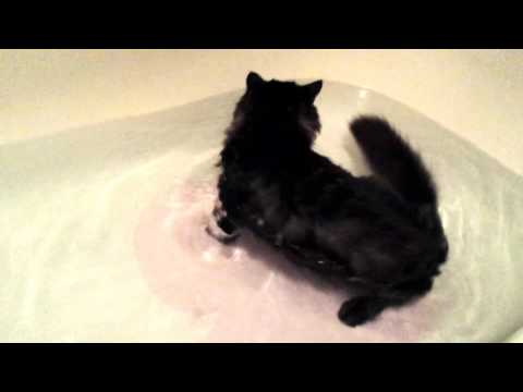 Maine Coon Kitten Naturally Knows How to Swim