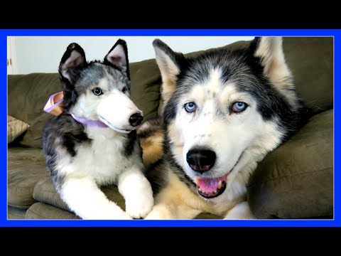 CLONE YOUR DOG | Siberian Husky Cuddle Clone | Custom made stuffed animal