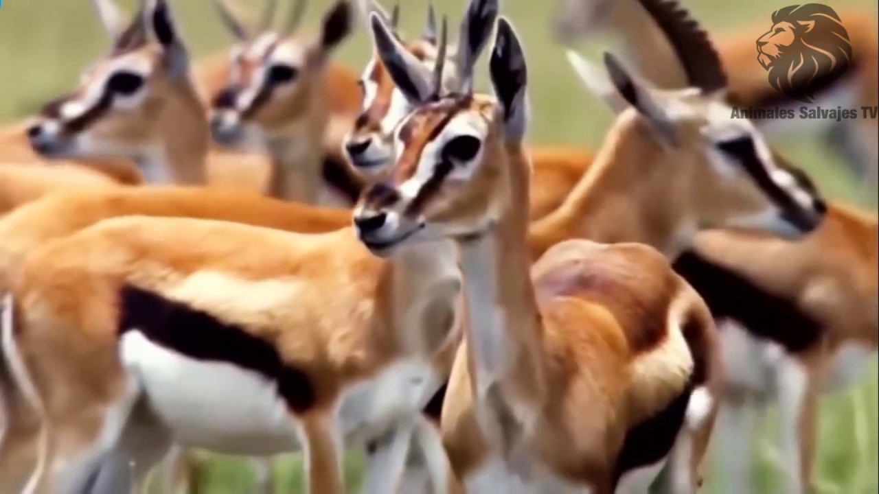 Leopardo llega inesperadamente cuando Impala está bebiendo, Hiena muy afortunada vino al rescate