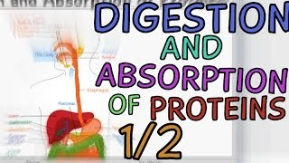 Video Digestion and Absorption of Proteins - Part 1/2 download MP3, 3GP, MP4, WEBM, AVI, FLV Mei 2018