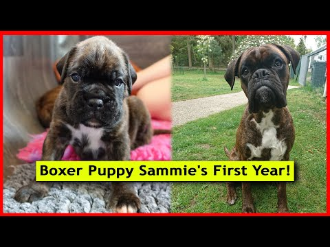 adorable-boxer-puppy-sammie's-first-amazing-year-compilation!-😍