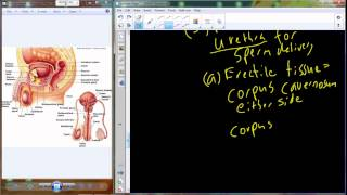 Lecture 39 A&P II - Male Reproductive System (Chapter 27)