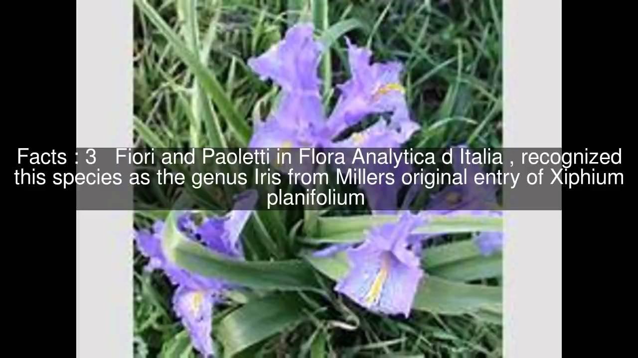 Iris planifolia top 6 facts youtube iris planifolia top 6 facts izmirmasajfo