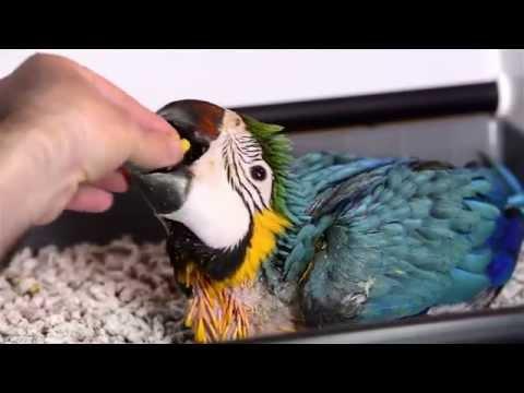 Cuidados de los pollos papilleros Ara ararauna, el guacamayo azul y amarillo