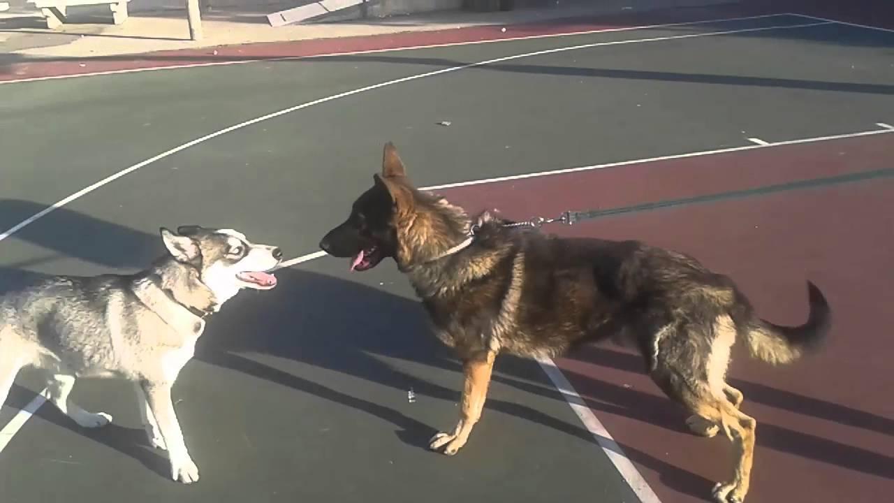 Siberian Husky Puppy Vs German Shepherdhusky Puppy Defended And