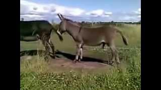 Horse And Donkey Mating And Feeling So Tired Dankey FunnyEşeklerin çiftleşmesi