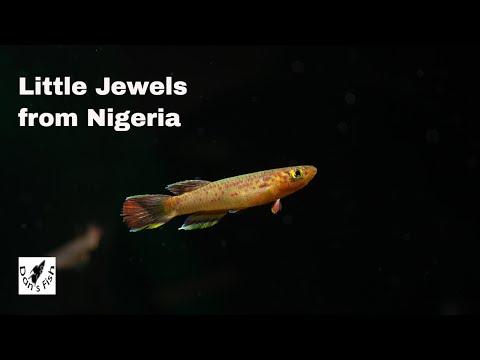 Aphyosemion Calliurum - Stunning African Killifish