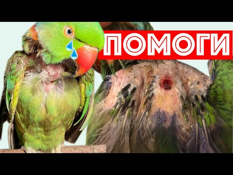 СТРАШНАЯ ПРАВДА. Видео ДО СЛЕЗ о Болезни и Жизни ожерелового попугая