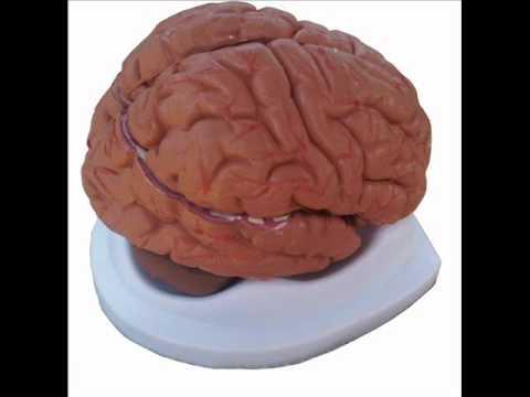 Modelo Anatomico Cerebro Wmv Youtube