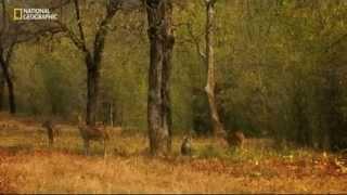 """Tajemství indické divočiny  """"Tigří džungle"""""""