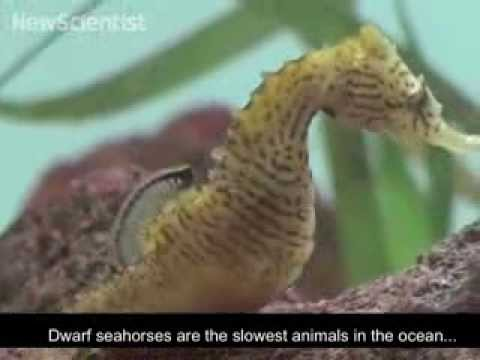 Slow seahorses use head move to snag prey