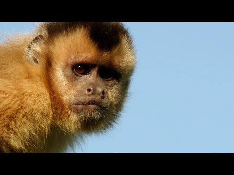 Capuchin Monkey Flirting - Animals In Love: Episode 2 Preview - BBC One