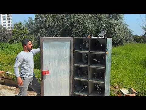Adana Cins Güvercinleri