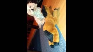 Insane dog fucks horse...😄