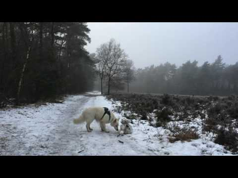 Cold january, white swiss shepherd. Service dog's free time