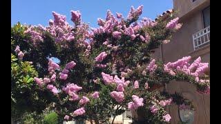목백일홍, 배롱나무의 꽃 피고지고~봄 여름 가을 겨울을…