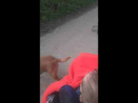 Labradors attack my staffordshire bull terrier