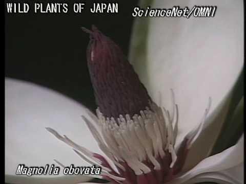 科学映像館 WILD PLANTS OF JAPAN(Magnolia obovata)ホオノキの開花