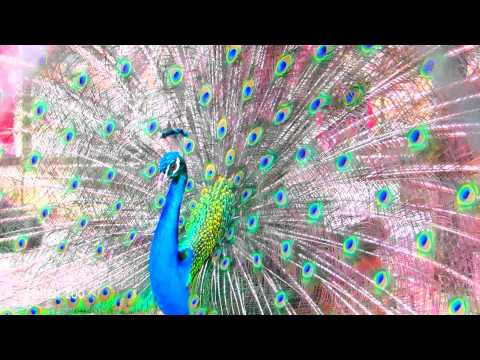 Subhanallah.... Mendengar Suara Adzan, Lihat Apa yang Dilakukan Burung Merak Ini