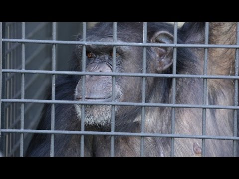 Chimpanzees Who Survived Lab Testing Arrive at Sprawling New Forever Home