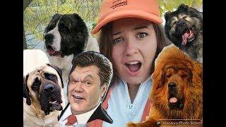 ЭЛИТНЫЕ собаки Януковича: тибетский мастиф, кавказцы, алабай, кане-корсо
