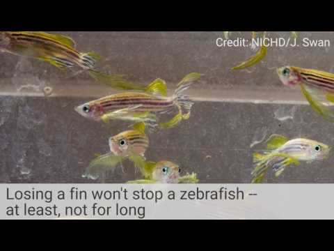 How Zebrafish Regrow Fins: A Cell-by-Cell Recap