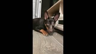 Тестируем нашу собаку на интеллект. Австралийский келпи