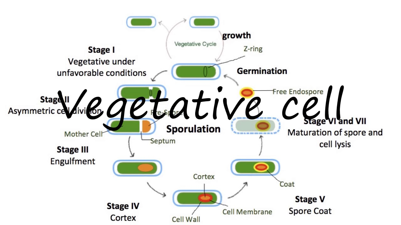 How to Pronounce Vegetative cell?