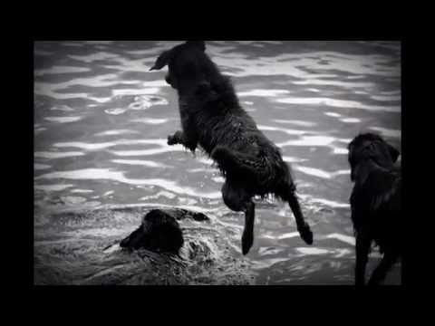 Living with Flatcoated Retrievers part 1