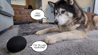 Husky gets Out Smarted by Alexa