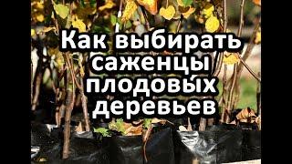 Как выбирать саженцы плодовых деревьев.