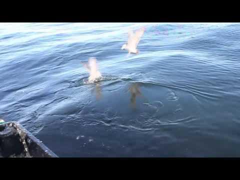 Bluefin Tuna Feeding Frenzy PEI, Canada on Top Notch Tuna Charters