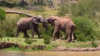 Эротика у слонов - 9 1/2 недель в дикой природе Африки Erotica Love of elephants Episode 01