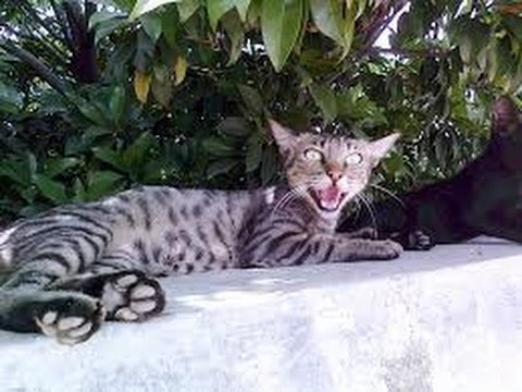 What do you say this Egyptian Mau cat ??? funny cat video