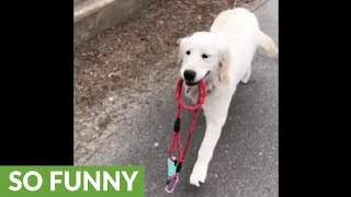 Independent pup walks herself with her own leash