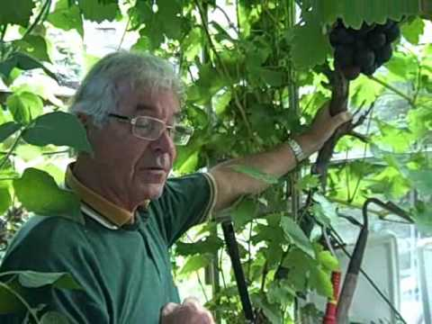 Growing Grape Vines in Greeenhouses