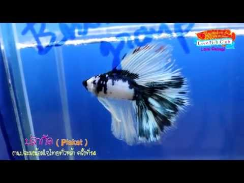 Betta ปลากัด Plakat (Siamese fighting fish )