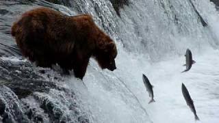 Brooks Falls Bears, Katmai AK