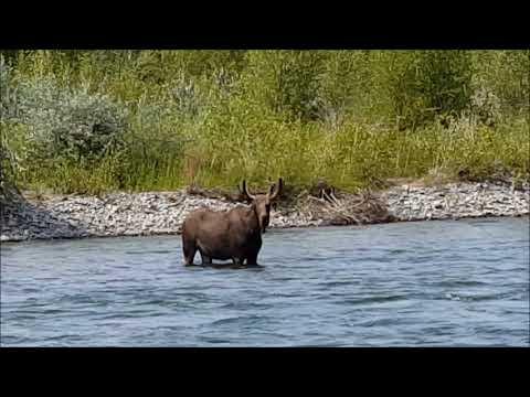 Bullwinkle in the Yellowstone