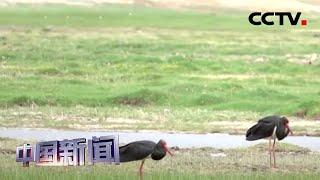 [中国新闻] 世界濒危珍禽黑鹳现身巴音布鲁克高寒草原 | CCTV中文国际