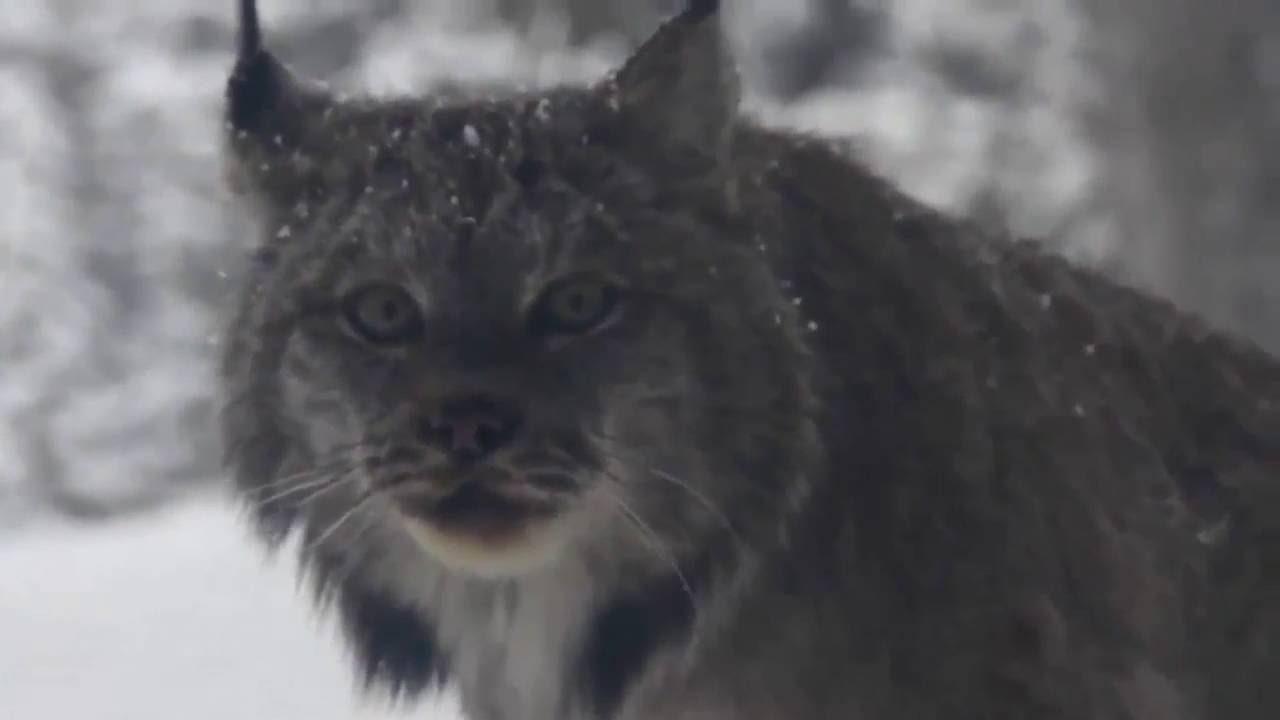 Рысь. Сибирский етти