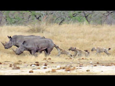 Hyenas Gang Up Against Hurt Rhino